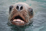 Oregon Coast - Sea Lion - Head Out of the Water - Photograph