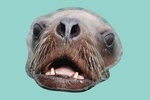 Sea Lion in Water - Contour - Lantern Press Photography