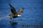 Wisconsin - Eagle Catching Fish - Lantern Press Photography
