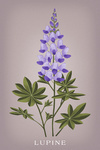 Lupine - Vintage Flora - Lantern Press Artwork