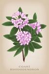 Coast Rhododendron - Vintage Flora - Lantern Press Artwork
