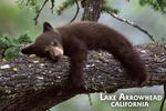 Lake Arrowhead, California - Black Bear in Tree - Lantern Press Photography