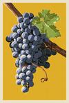 Wine Grapes - Letterpress - Lantern Press Artwork