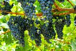 Wine Grapes on Vine #2 - Lantern Press Photography