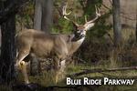 Blue Ridge Parkway - White-tailed Deer Buck - Lantern Press Photography