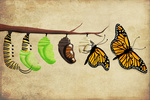 Monarch Butterfly Lifecycle - Lantern Press Artwork