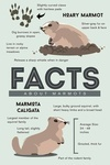 Facts About Hoary Marmots - Lantern Press Artwork