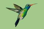 Broadbill Hummingbird - Contour - Photography (James T. Jones)